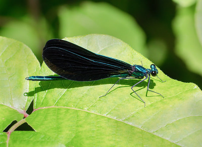 Ebony Jewelwing (Calopteryx maculata), Male
