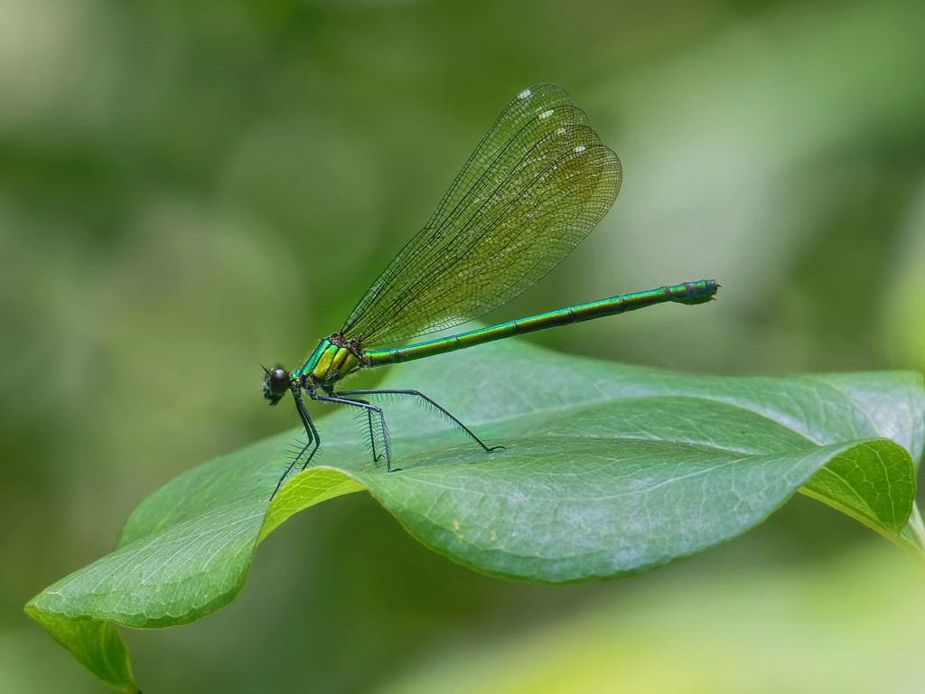 Sparkling Jewelwing, female