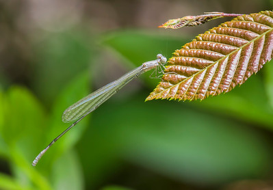 Teneral Male, Idylwild WMA, MD