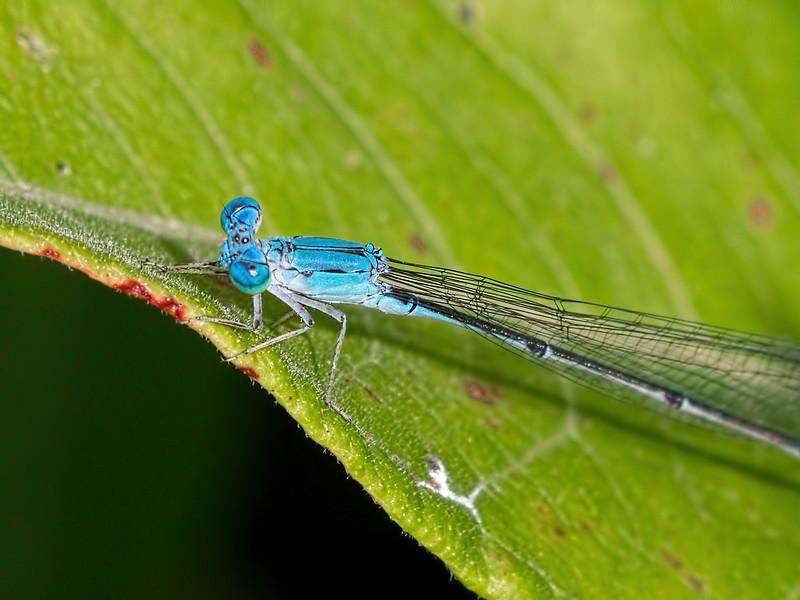 Attenuated Bluet (Enallagma daeckii), Male