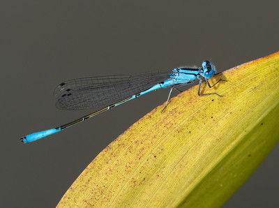 Azure Bluet (Enallagma aspersum), male