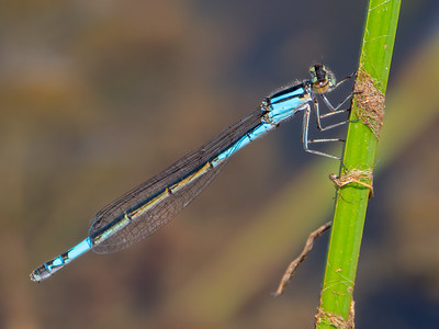 Azure Bluet (Enallagma aspersum), female