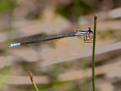 Azure Bluet (Enallagma aspersum), immature male