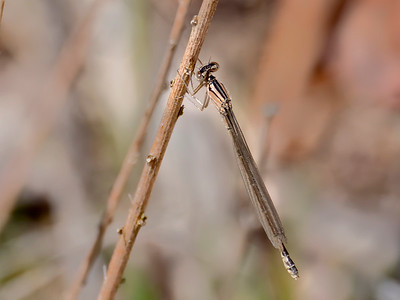 Azure Bluet (Enallagma aspersum), teneral female