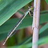 Female, consuming Eastern Forktail, Lum's Pond