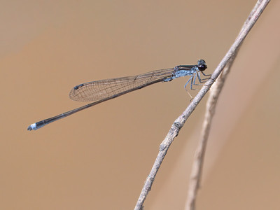 Blackwater Bluet (Enallagma weewa), male