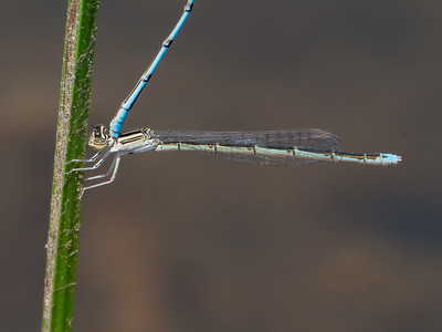 Double-striped Bluet (Enallagma basidens), female of pair in tandem