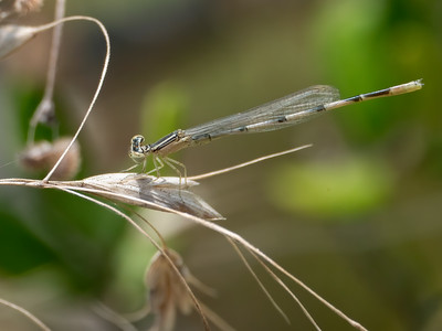 Double-striped Bluet (Enallagma basidens), immature male