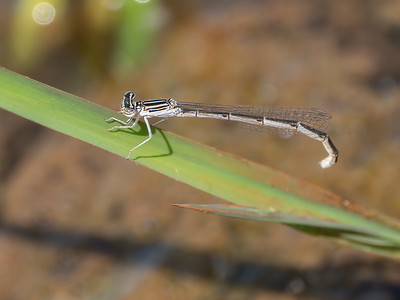 Double-striped Bluet (Enallagma basidens), female