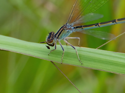 Familiar Bluet, female