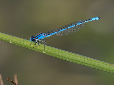 Familiar Bluet (Enallagma civile), male