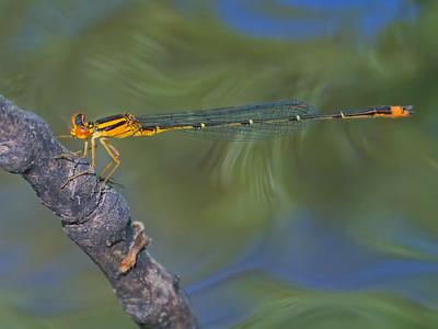 Orange Bluet (Enallagma signatum), male