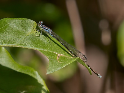 Orange Bluet (Enallagma signatum), female