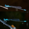 Comparison of male Slender Bluet (top) and male Pale Bluet, Idylwild WMA, MD
