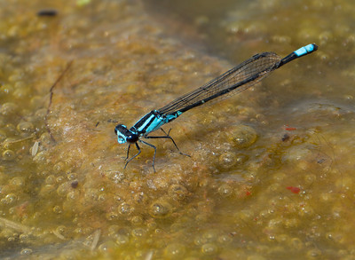 Skimming Bluet (Enallagma geminatum), male