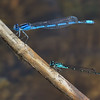 Male (below) with Familiar Bluet, Summit Bridge Ponds