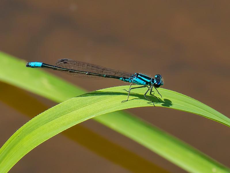 Male. Lum's Pond