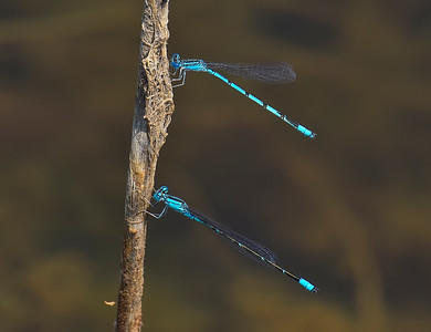 Male (below) with Double-striped Bluet, Summit Bridge Ponds