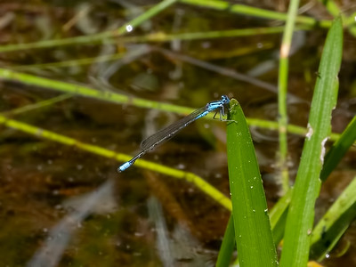 Turquoise Bluet, male, Johnson Rd. Hammonton, NJ