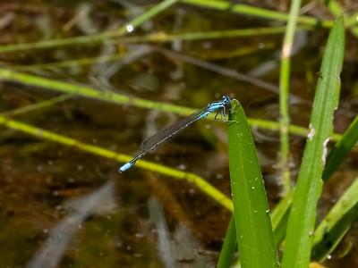 Turquoise Bluet, male, Johnson Rd. Hammonton, NJ