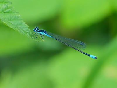 Turquoise Bluet (Enallagma divagans), male