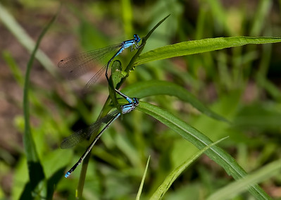 Pair in Tandem, Idylwild WMA, MD