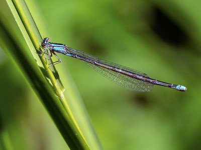 Turquoise Bluet (Enallagma divigans), Female