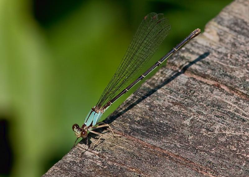 Female, blue form, Lum's Pond State Park