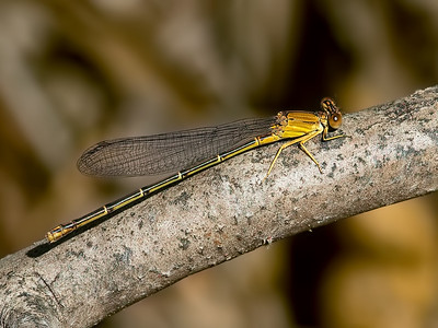Blue-fronted Dancer (Argia apicalis), brown form female