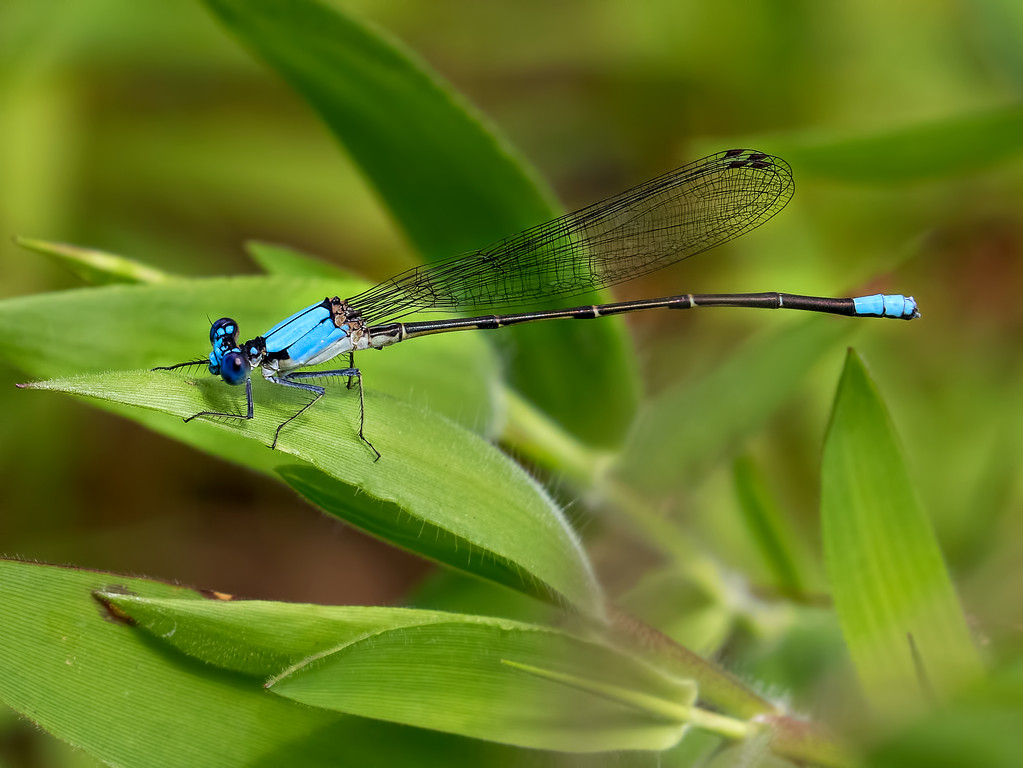 Blue-fronted Dancer male