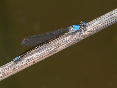 Blue-fronted Dancer (Argia apicalis), male