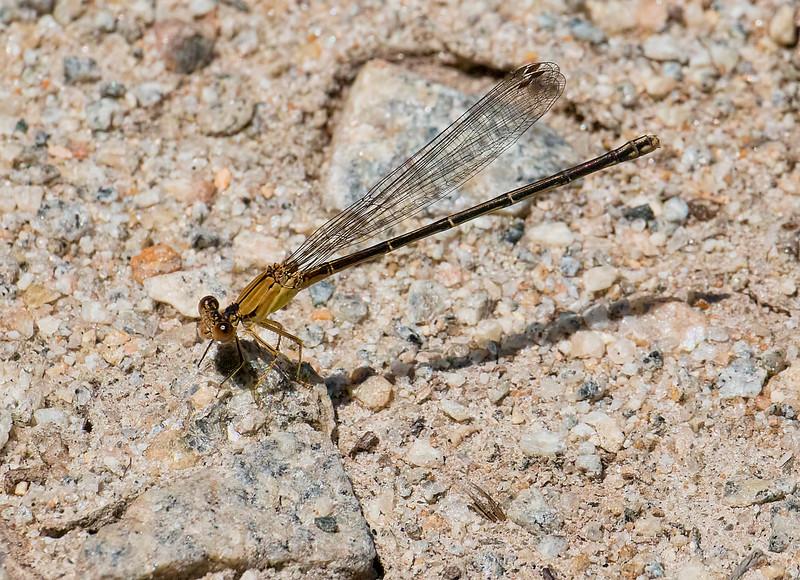 Female, Brown form, Lum's Pond State Park