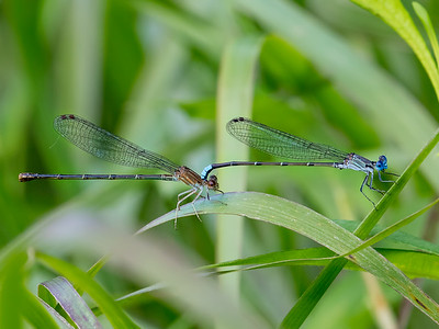 Pair in tandem (male showing temporary tandem darkening), Lum's Pond State Park