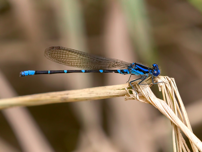 Blue-ringed Dancer (Argia sedula), Male