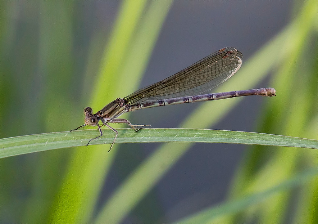 Blue-ringed Dancer, female
