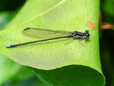 Blue-tipped Dancer (Argia tibialis), Male