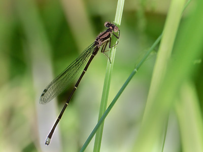 Blue-tipped Dancer (Argia tibialis), Immature Male