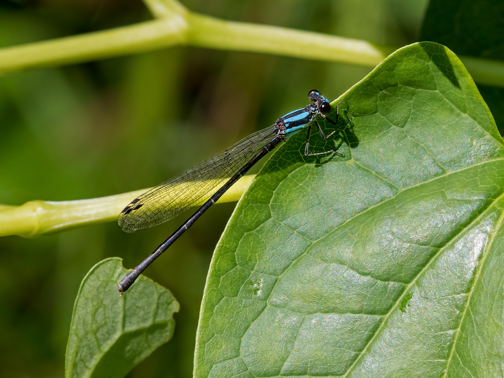 Blue-tipped Dancer, female