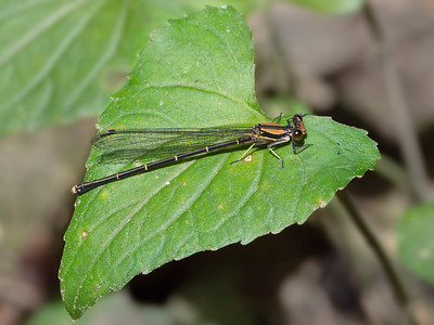 Blue-tipped Dancer (Argia tibialis), Brown Form Female
