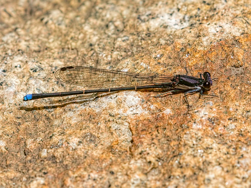 Blue-tipped Dancer (Argia tibialis), Male