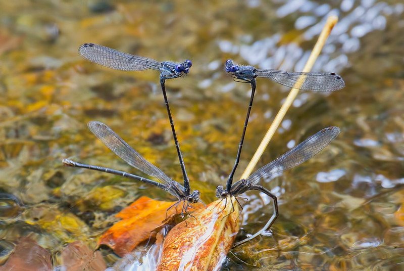 Pairs in tandem, White Clay Creek State Park