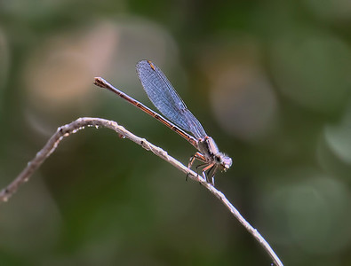Female, Spur Cross Recreation Area, Maricopa County, AZ