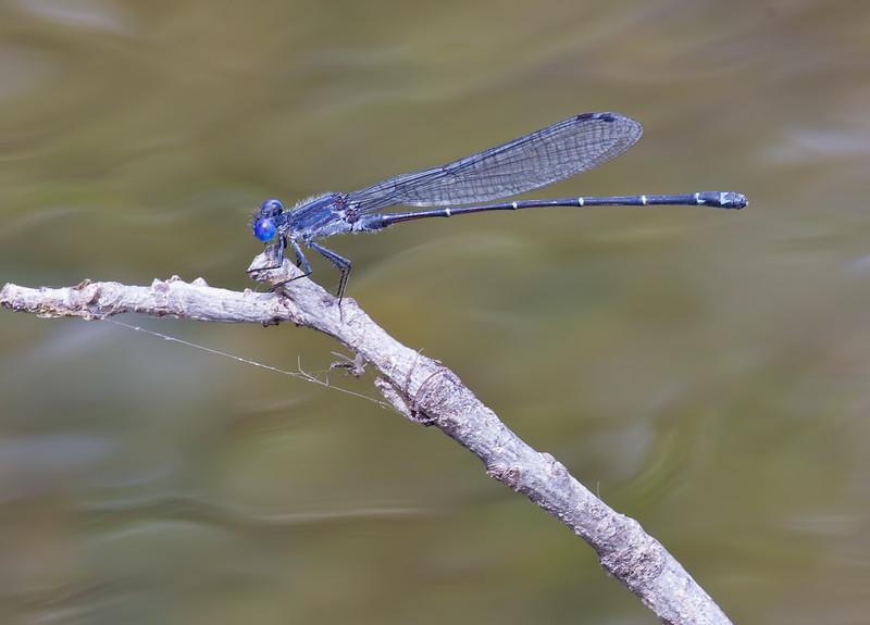 Male, White Clay Creek SP