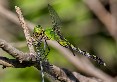 Female being consumed by Eastern Pondhawk, Bentsen SP, TX