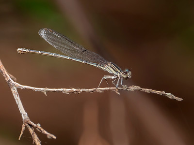Dusky Dancer (Argia translata), female
