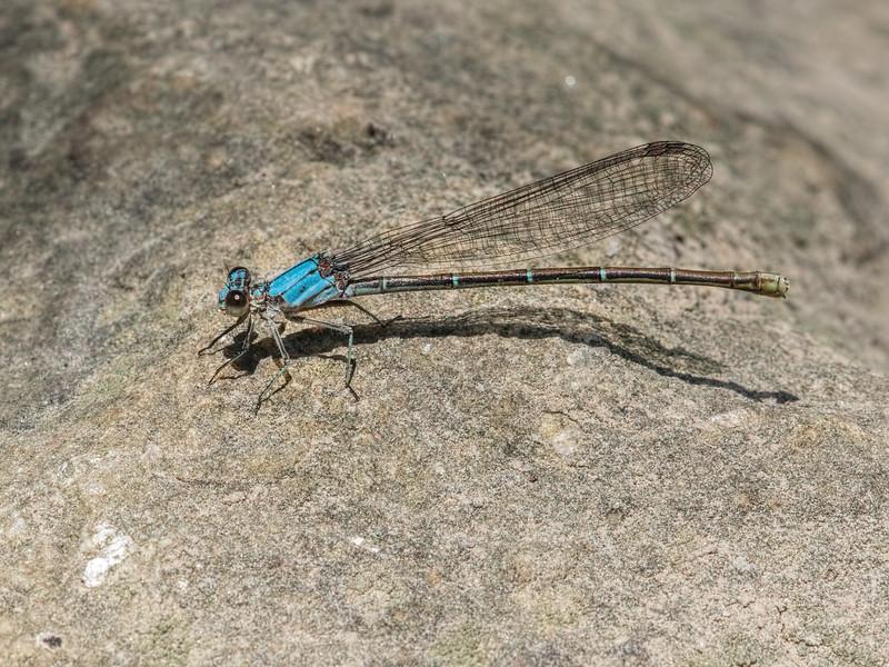 Female, Blue Morph, White Clay Creek State Park