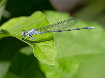 Powdered Dancer (Argia moesta), male