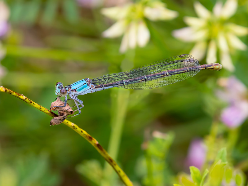 Female, Blue morph, Amity Hall Boat Ramp, Perry Co, PA