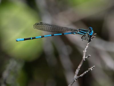 Seepage Dancer (Agria bipunctulata), male