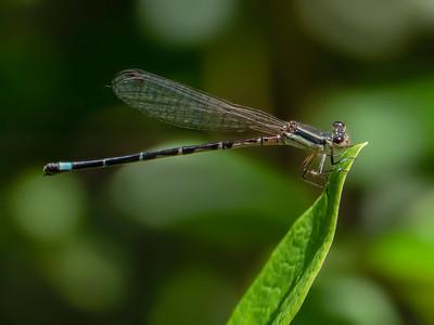 Seepage Dancer (Agria bipunctulata), female